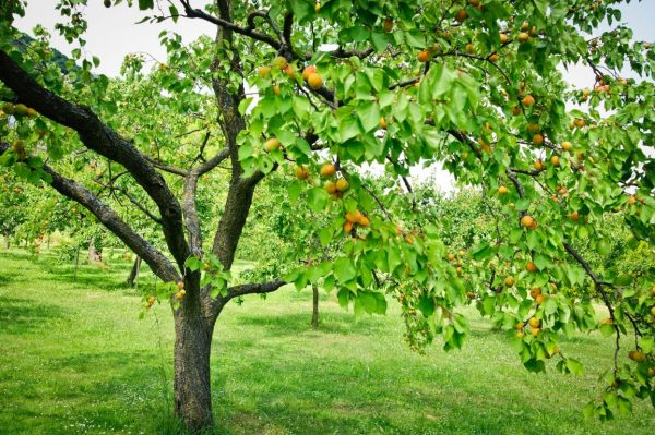 derevo-abrikosa