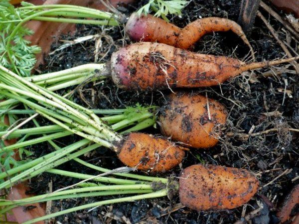 freshly-dug-carrots-604x453