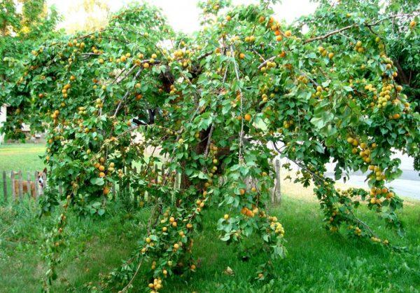 nagruzka-na-derevo-abrikosa