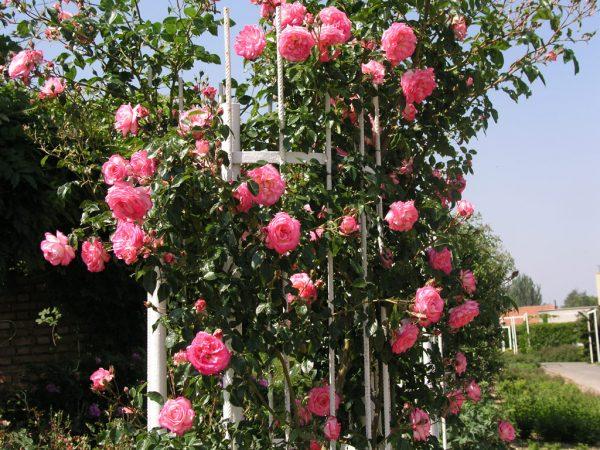 pletistaya-roza-na-vertikalnoj-opore