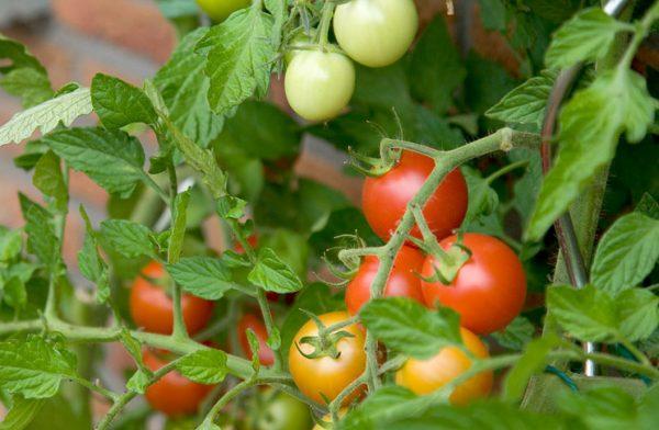 pomidory-v-teplice-kak-uskorit-sozrevanie-v-teplice