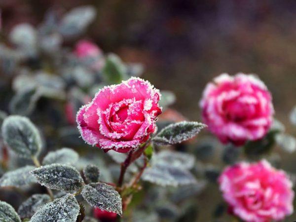 roza_zima1