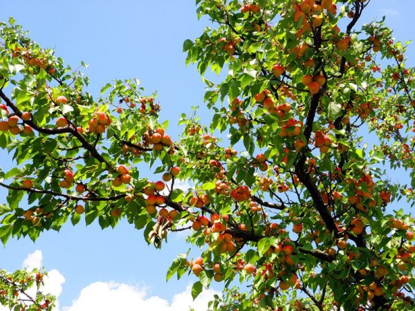shema-obrezki-abrikosa-osenju02