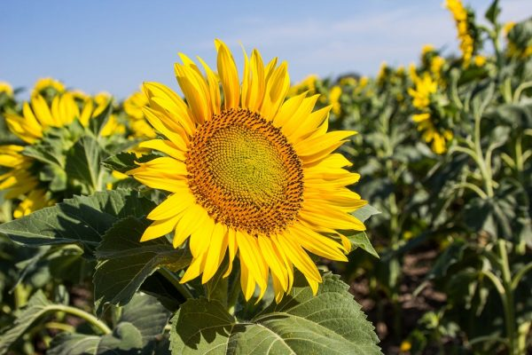 sunflower-latifundist-com-72920
