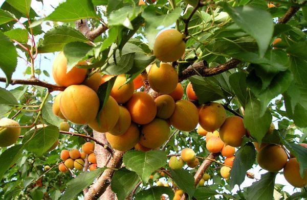 viraschivanie-abrikosa-triumf-opisanie-sorta-triumf-severnyj