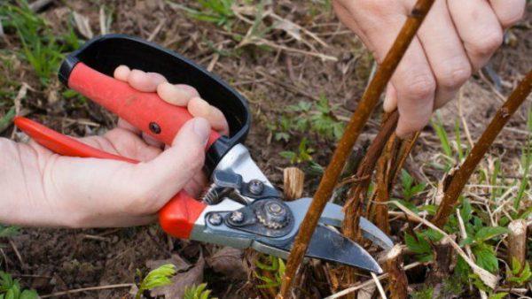 Осенняя обрезка малины. Как и для чего обрезать малину осенью?