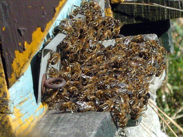 Abeilles-bees-treatment-varroa