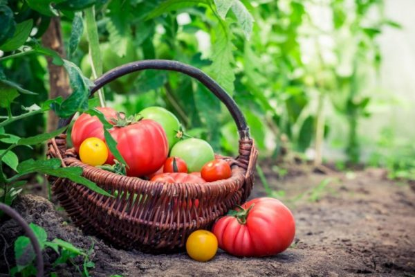 Bolezni-pomidor-1