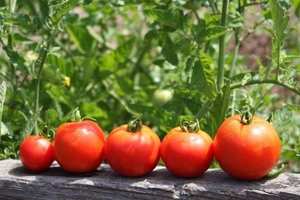 Kak-uskorit-sozrevanie-tomatov
