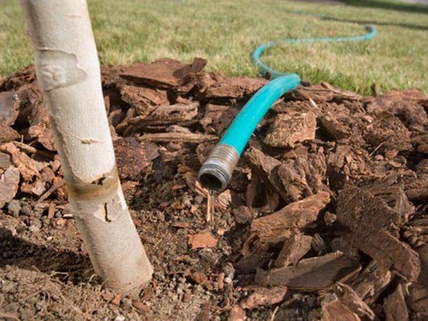 Как подготовить деревья к зиме методом влагозарядного полива