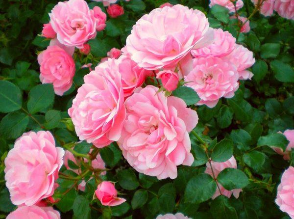 RoseBonica