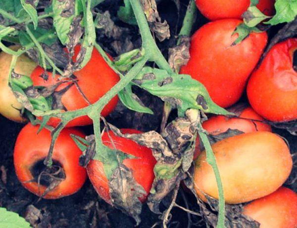 alternarioz-pomidorov