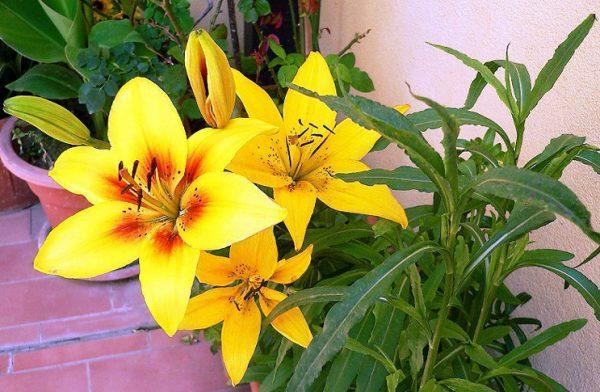 jeltye-lilii
