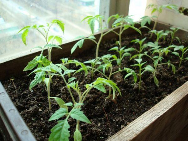 kak-vyrastit-rassadu-tomatov