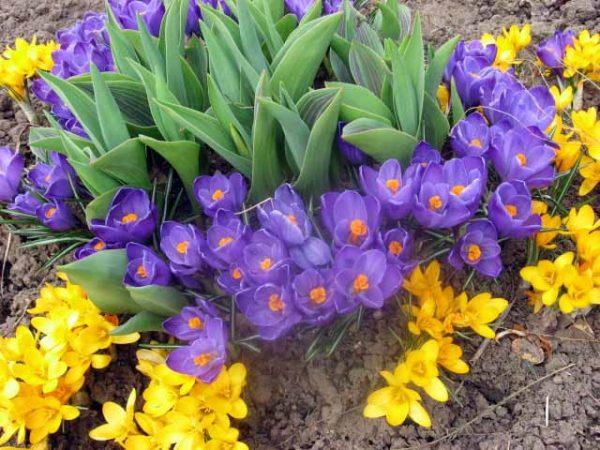 lukovichnye-cvety-mnogoletnie-sada-amarillis-foto-1
