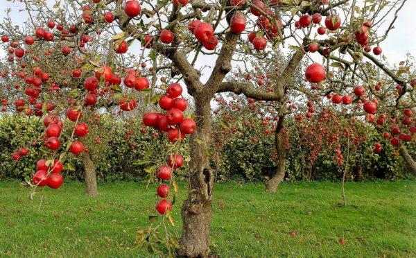 plodovye-derevia