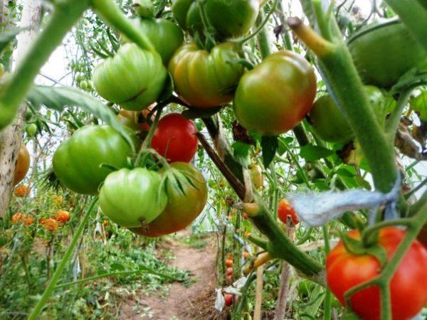 pomidor-1