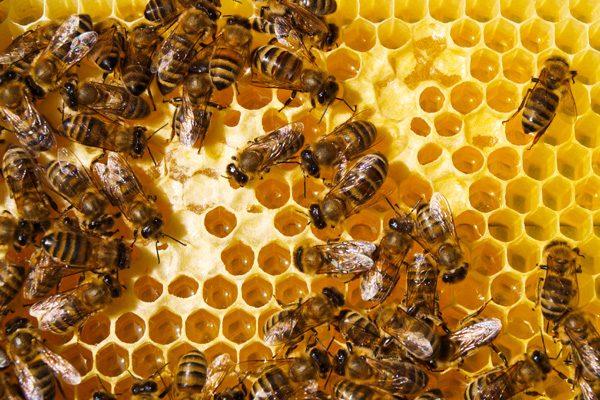 pszczoly_fotolia_600