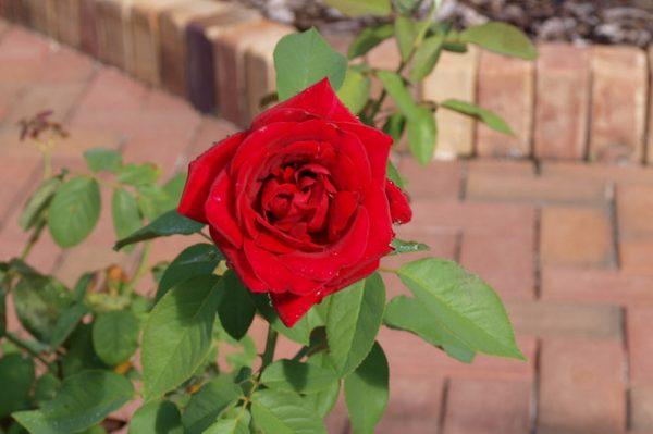 roses_winter2
