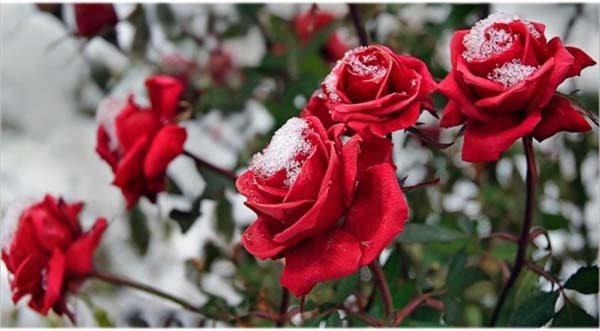 roza-zimoy