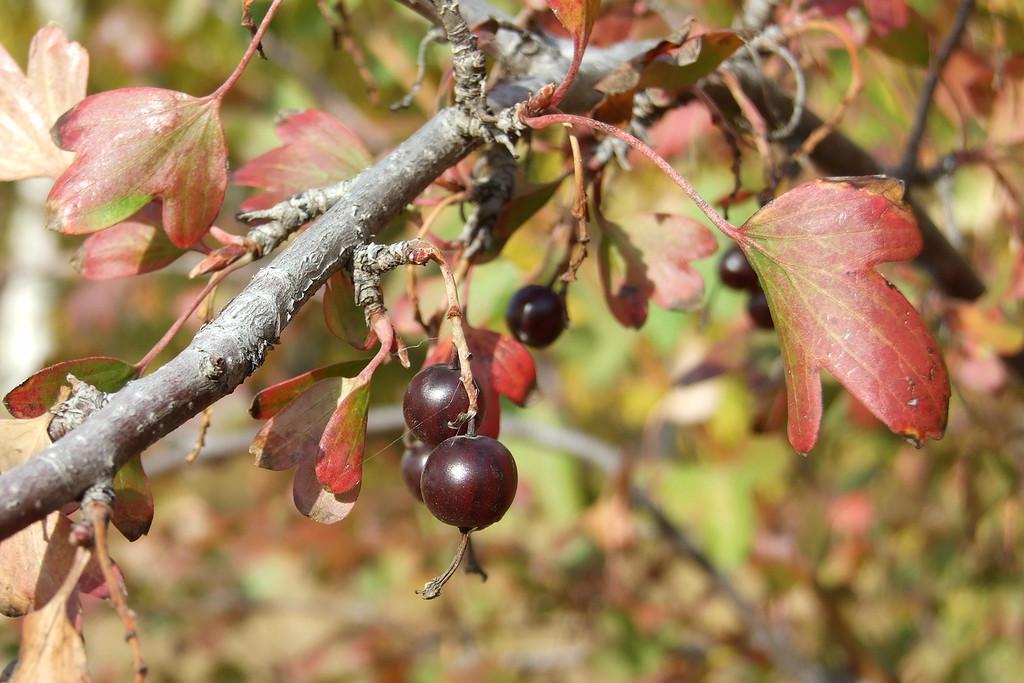 Картинки по запросу Осенний уход за ягодными кустарниками Крыжовник
