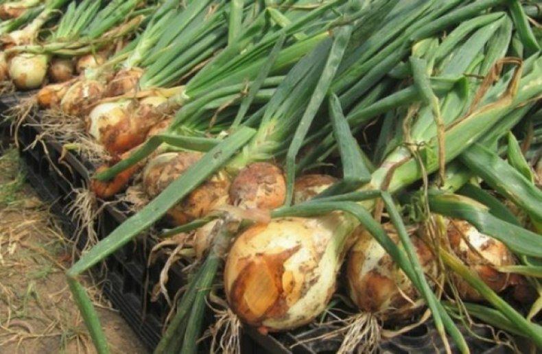 Картинки по запросу Варианты проращивания богатого урожая лука