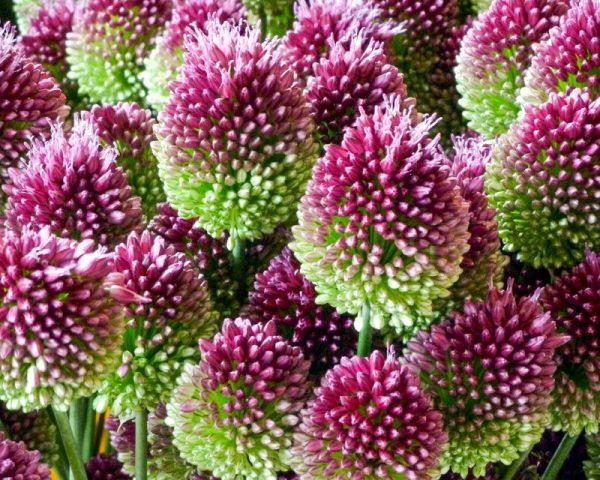 Allium-04