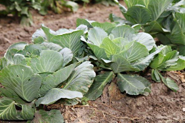 Cabbage-2