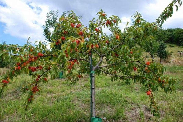 Peach-tree-6