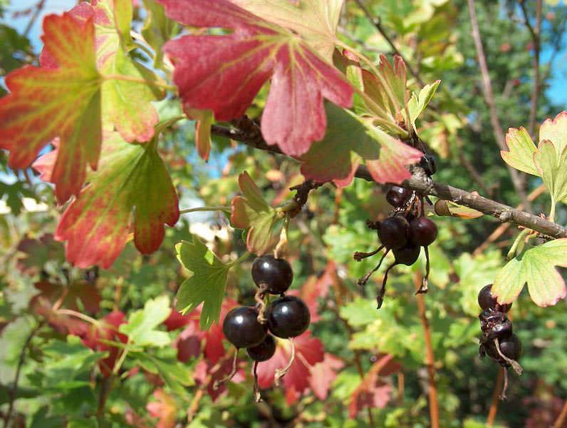 Картинки по запросу Осенний уход за ягодными кустарниками Черная смородина