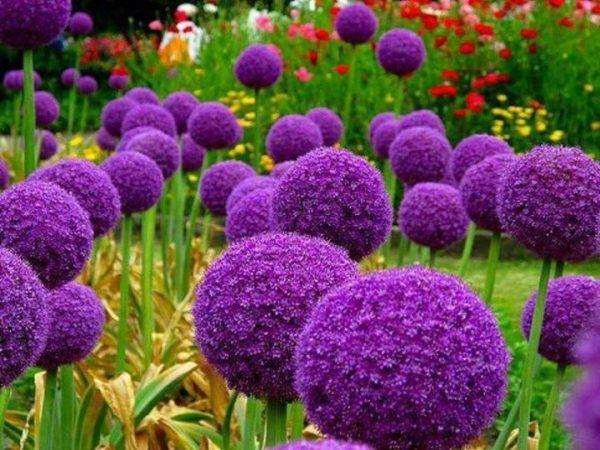 decorative-allium-plants