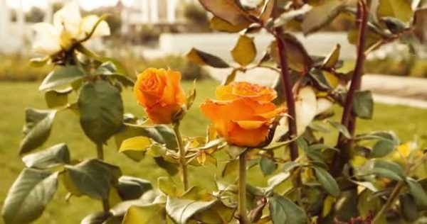 depositphotos_128275126-stock-video-yellow-roses-in-autumn-garden