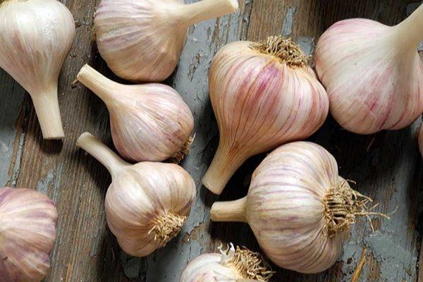garlic-winter-crops1-big