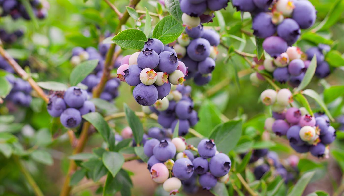 Картинки по запросу Осенний уход за ягодными кустарниками Голубика