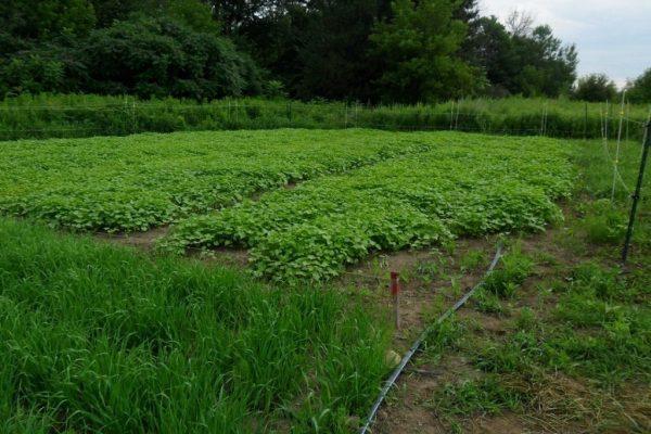 green_manure_02