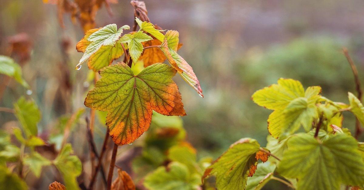 Картинки по запросу Осенний уход за ягодными кустарниками по правилам