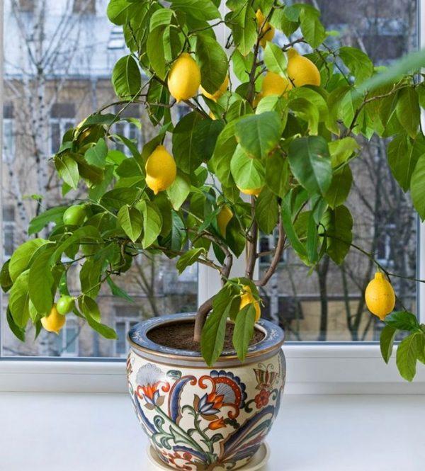 limon_uhod