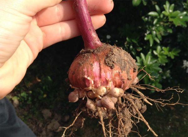 lukovica-gladiolusa