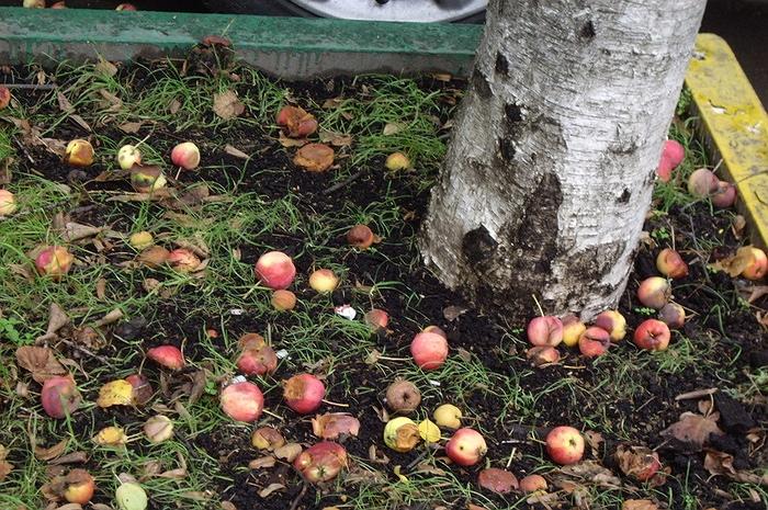 Картинки по запросу Порченые огурцы и яблоки – в отходы