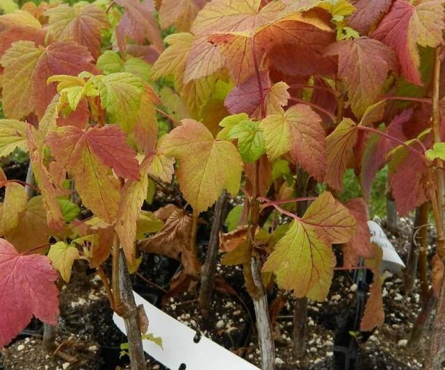 Картинки по запросу Осенний уход за ягодными кустарниками Малина