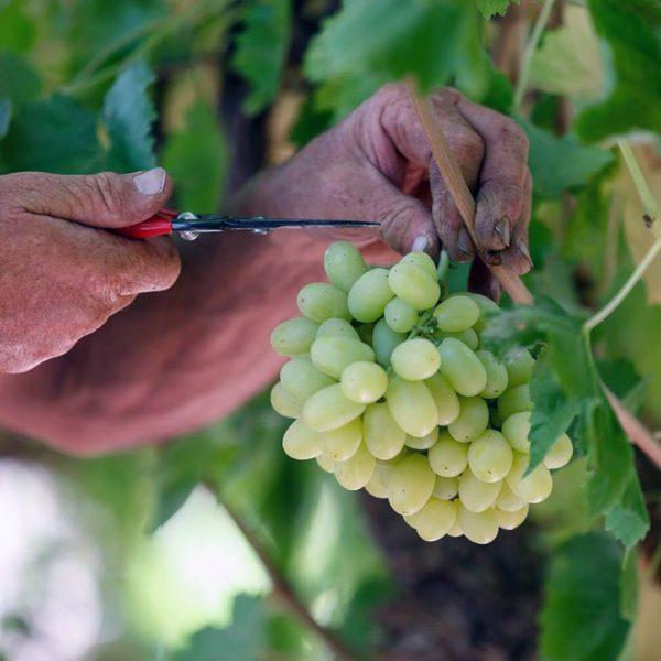 sbor_vinograda