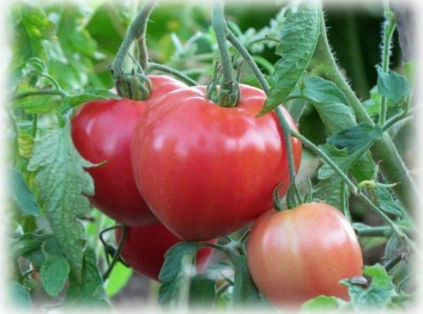 tomaty_1