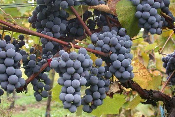 urozhainost-vinograda
