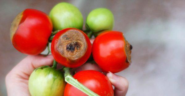 vershinnaya_gnil_sposobna_unichnozhat_tomaty_vetkami