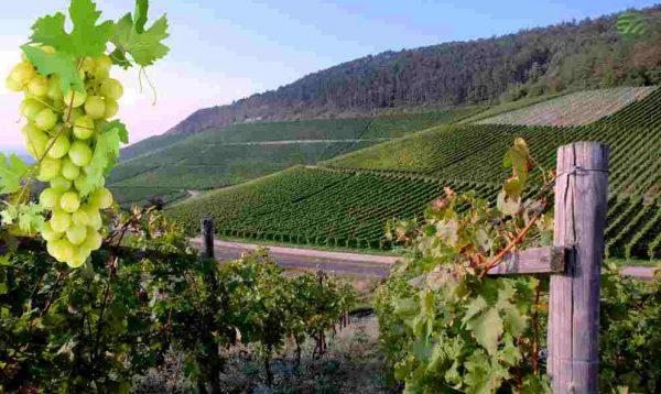 vinogradnik-ver1-0