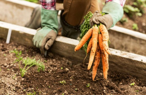 vyrastit-morkov-posadka-morkovi-vesnoj