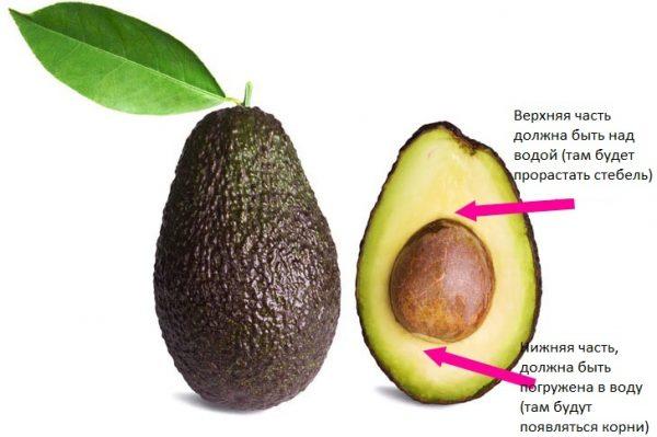 1_Avocado