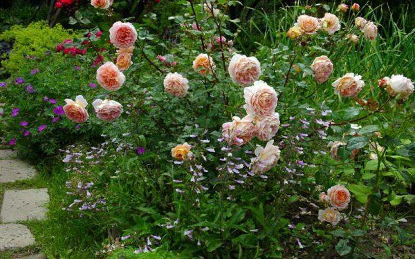 Какие цветы можно посадить рядом с розами в клумбах?