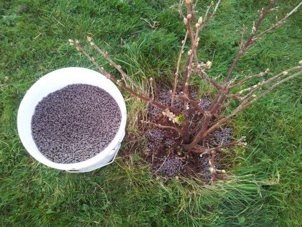 Если подкормить крыжовник осенью, можно получить отличный урожай летом!
