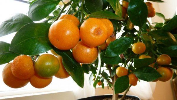 Citrus-Reticulata-8
